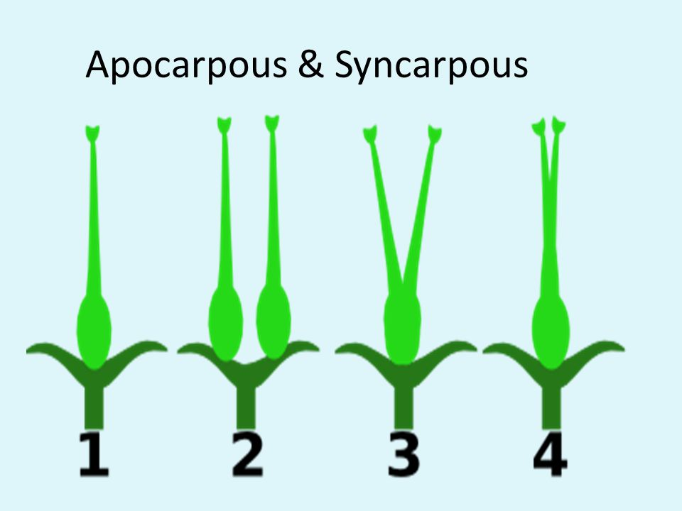 Apocarpous & Syncarpous