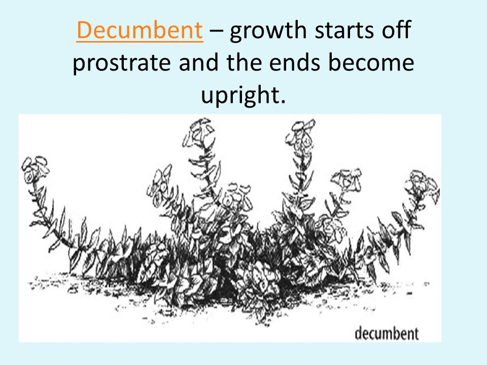 Decumbent – growth starts off prostrate and the ends become upright.