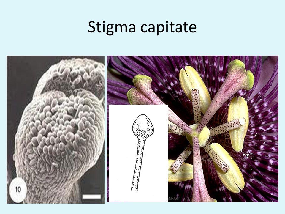 Stigma capitate