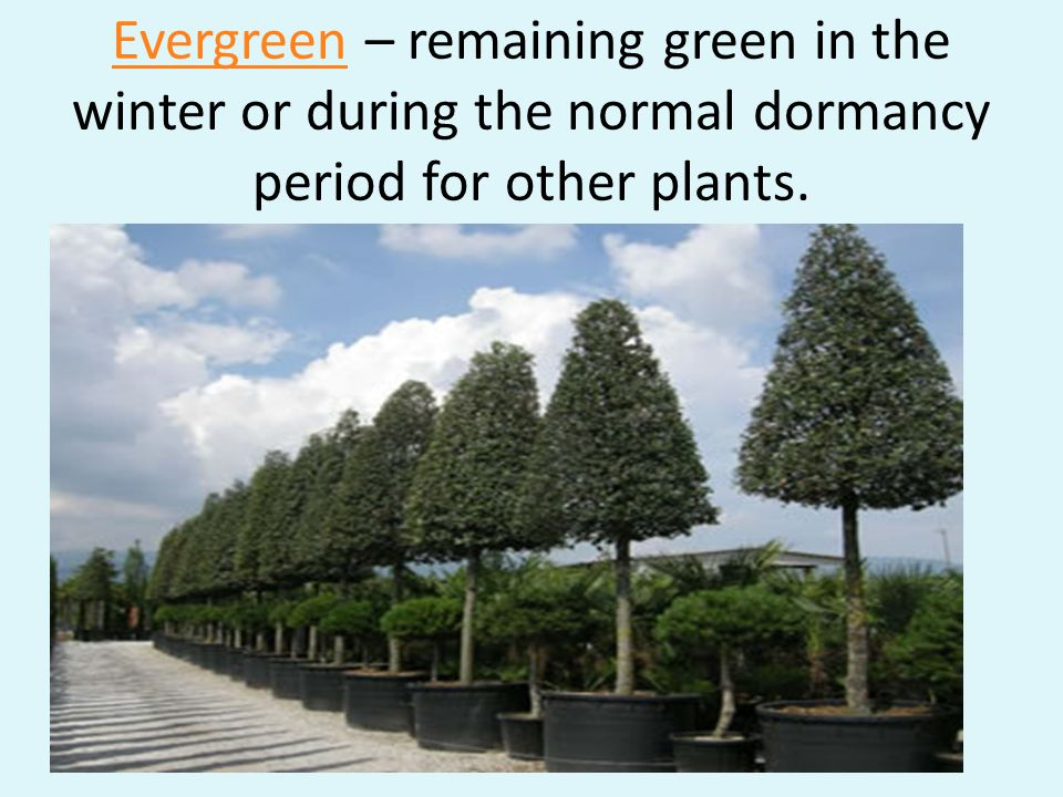 Evergreen – remaining green in the winter or during the normal dormancy period for other plants.