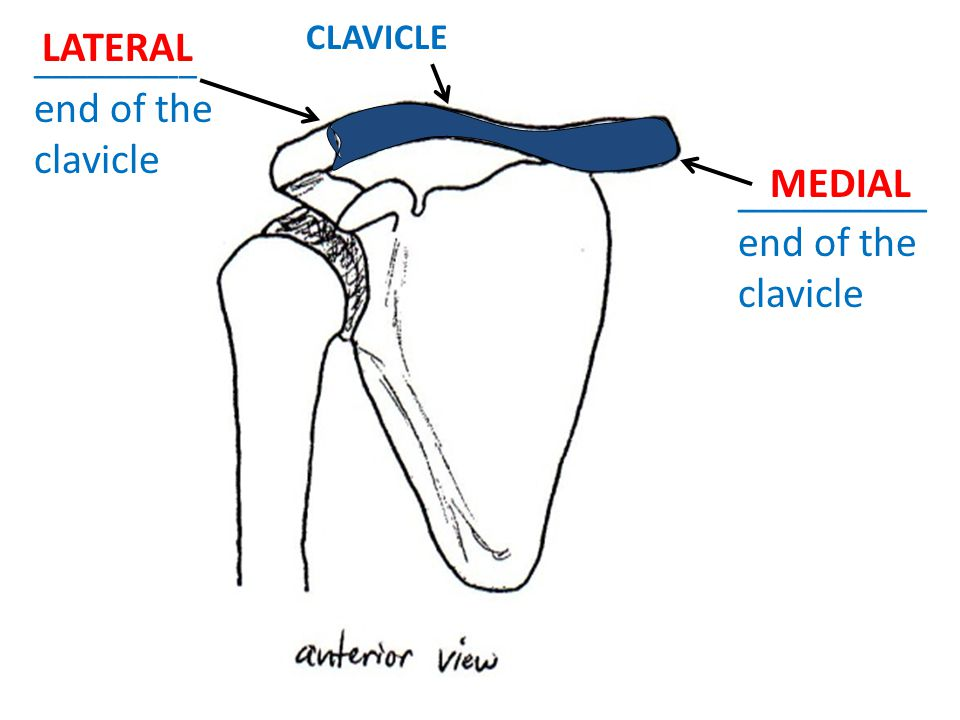 _________ end of the clavicle