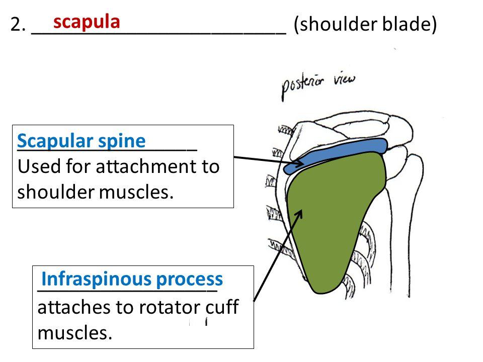 2. ________________________ (shoulder blade)