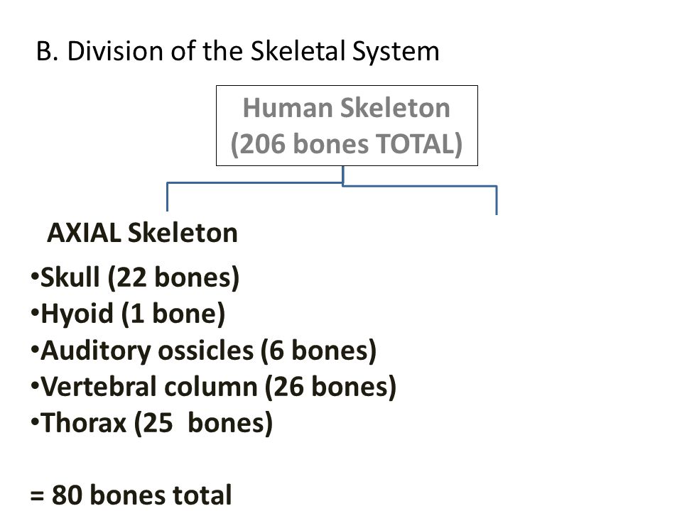 B. Division of the Skeletal System