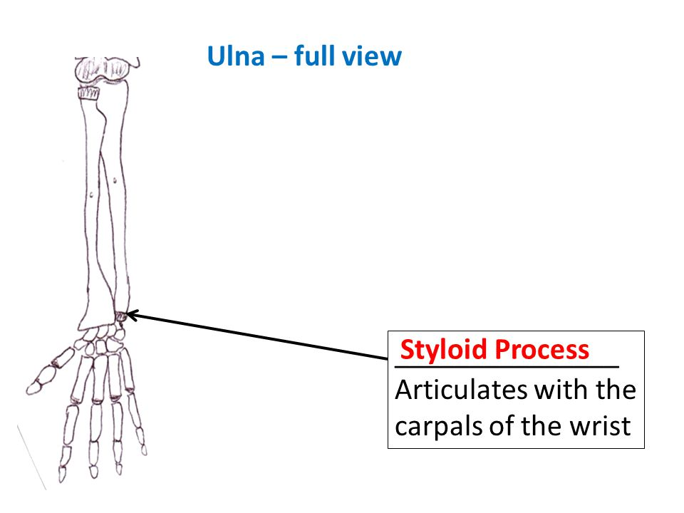 Ulna – full view _______________Articulates with the carpals of the wrist Styloid Process