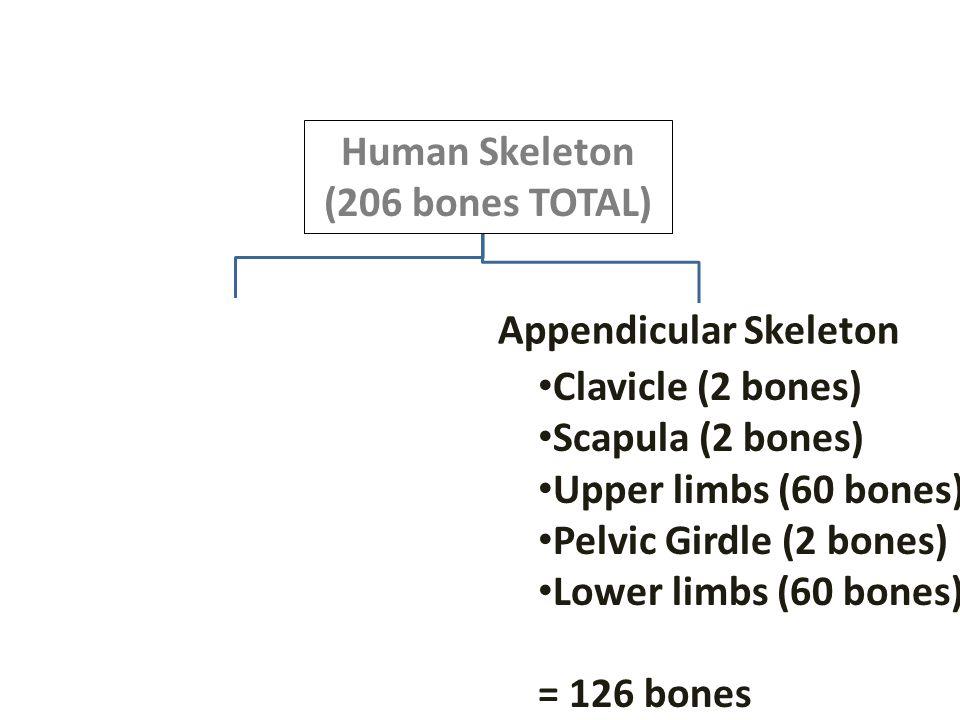 Human Skeleton (206 bones TOTAL) Appendicular Skeleton. Clavicle (2 bones) Scapula (2 bones) Upper limbs (60 bones)