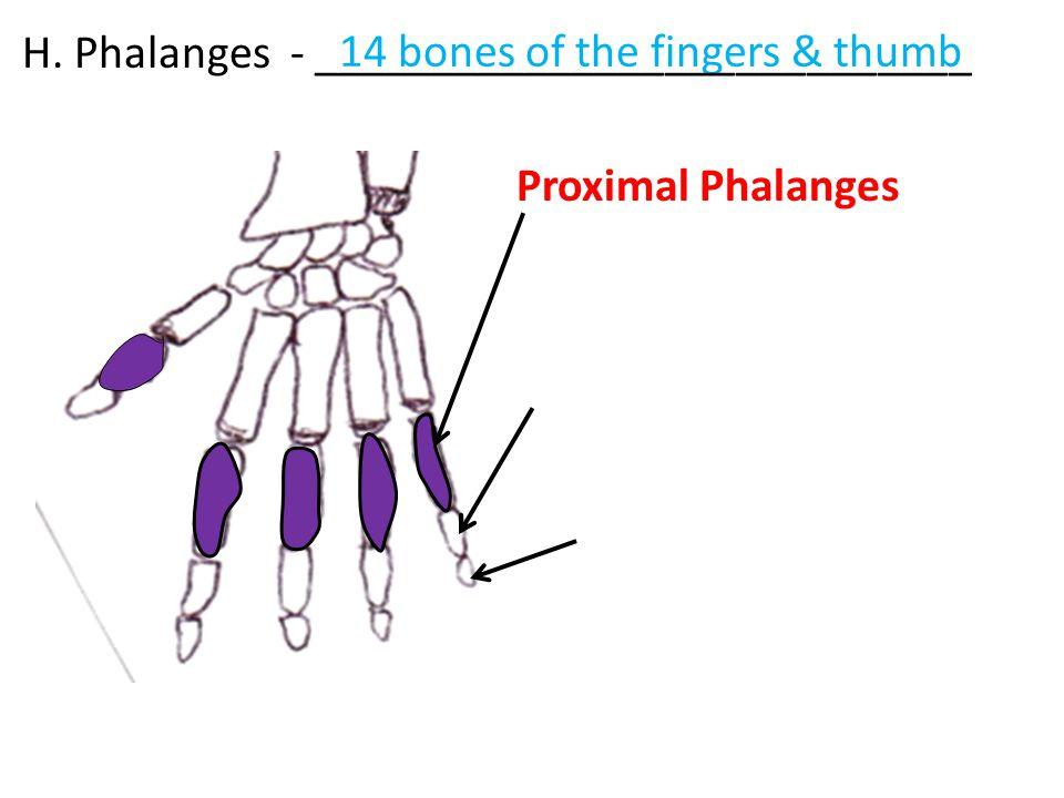 H. Phalanges - ____________________________