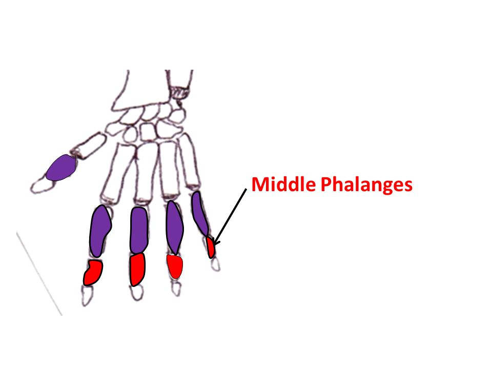 Middle Phalanges