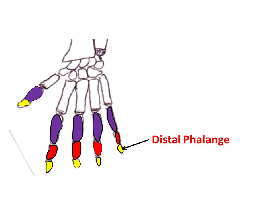 Distal Phalange