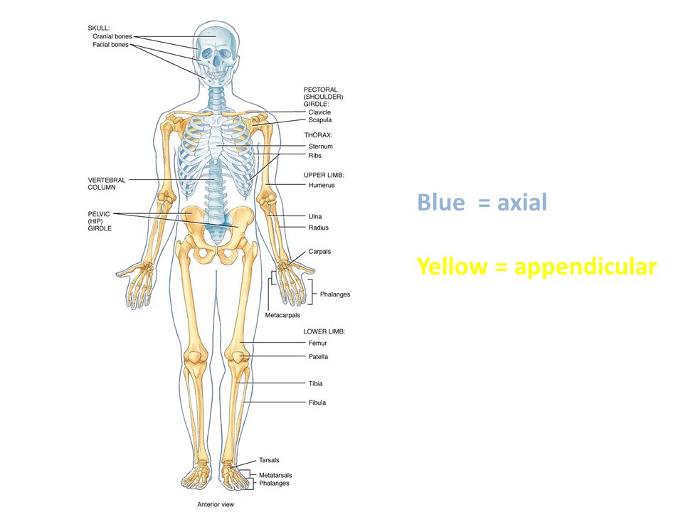 Blue = axial Yellow = appendicular