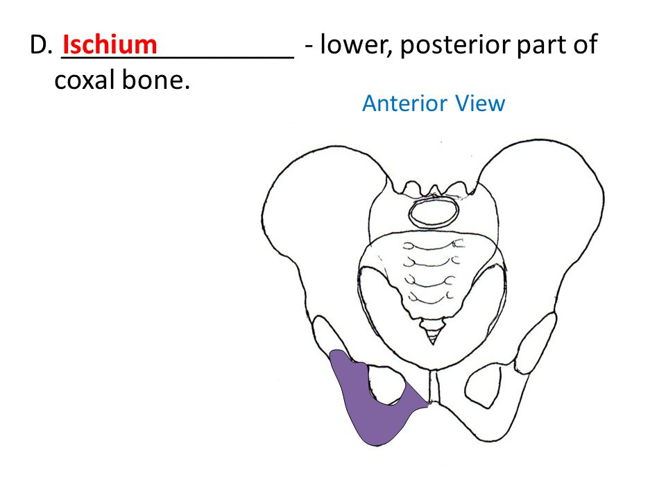 D. ________________ - lower, posterior part of coxal bone. Ischium