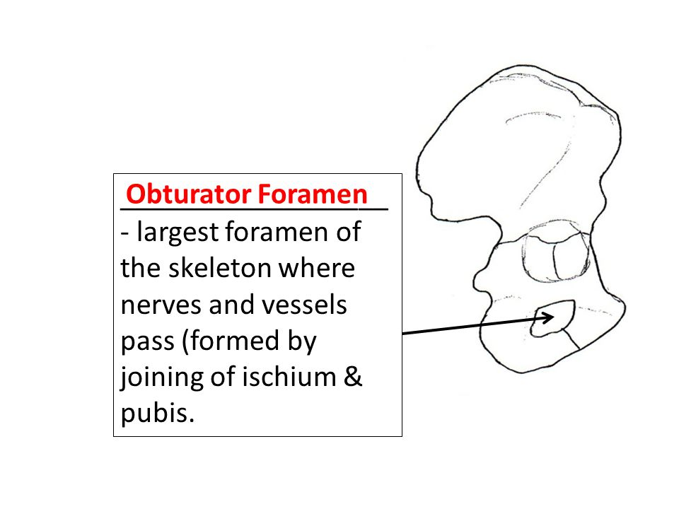 __________________- largest foramen of the skeleton where nerves and vessels pass (formed by joining of ischium & pubis.