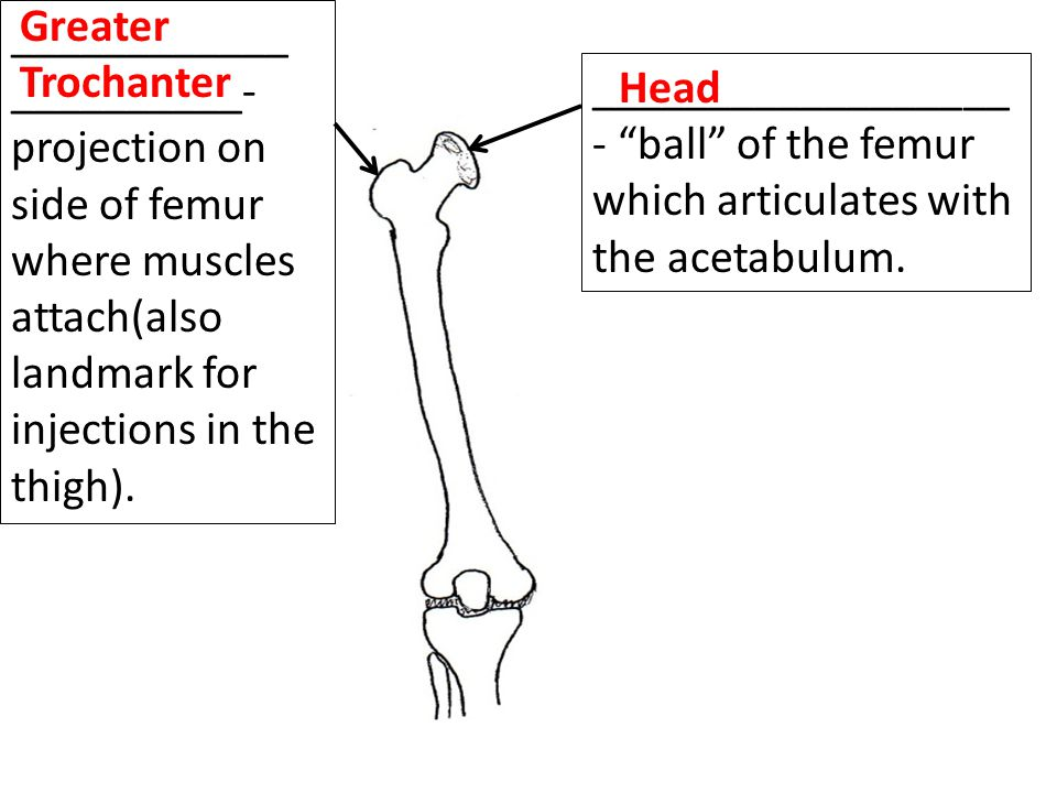 Greater Trochanter ____________. __________- projection on side of femur where muscles attach(also landmark for injections in the thigh).