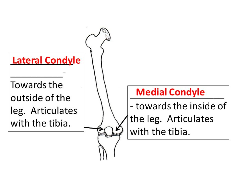 ____________ __________- Towards the outside of the leg. Articulates with the tibia. Lateral Condyle.