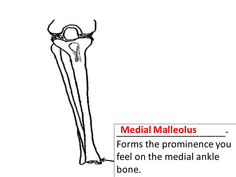 Medial Malleolus _____________________- Forms the prominence you feel on the medial ankle bone.
