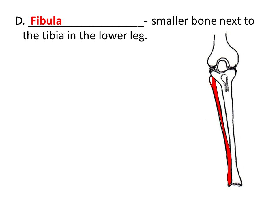 D. ___________________- smaller bone next to the tibia in the lower leg.