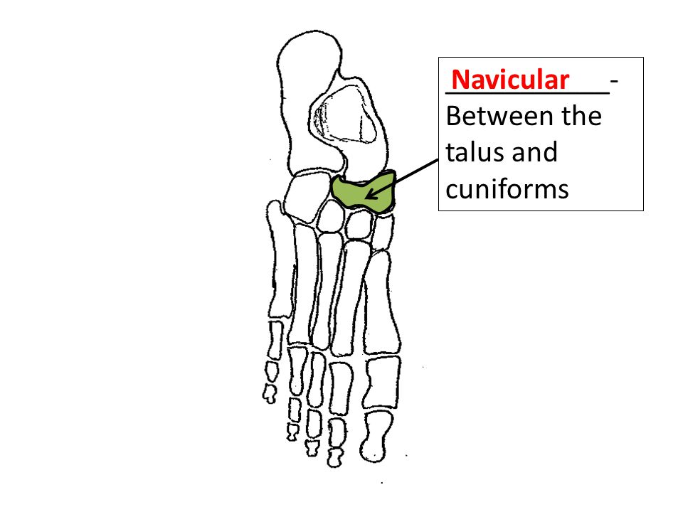 ___________- Between the talus and cuniforms Navicular