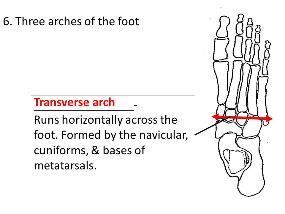 6. Three arches of the foot