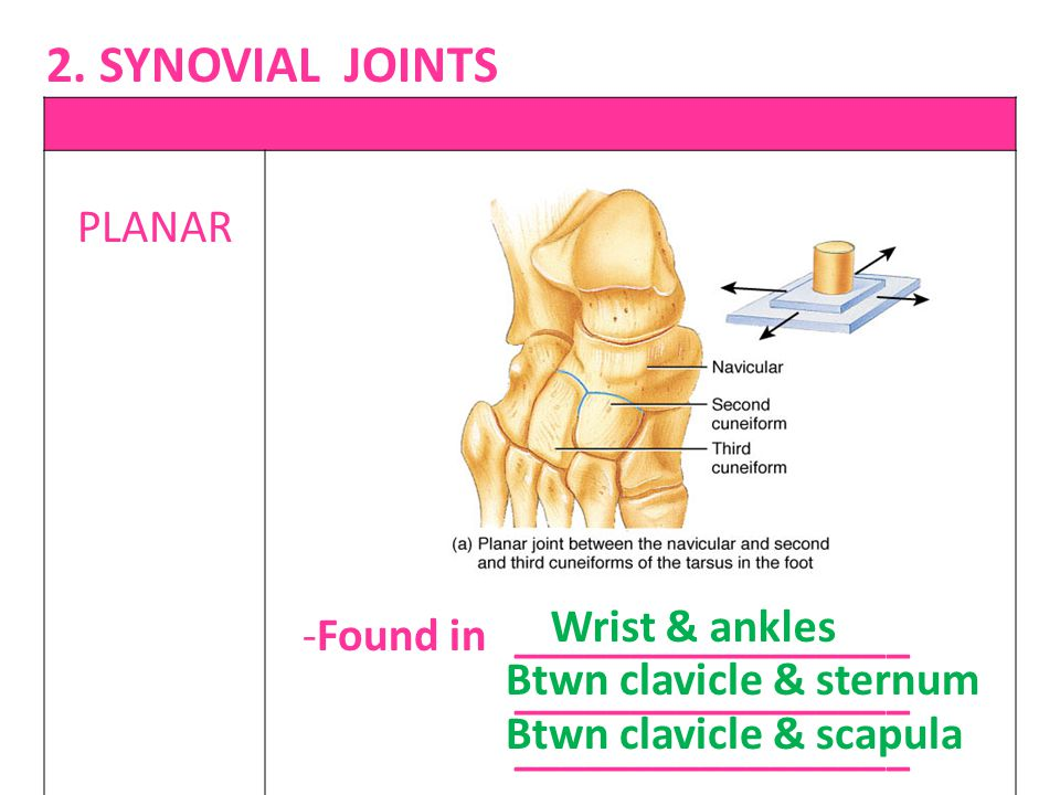 2. SYNOVIAL JOINTS PLANAR Wrist & ankles Found in _________________