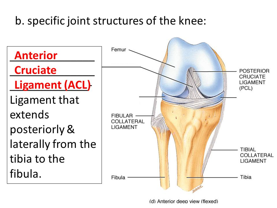 b. specific joint structures of the knee: