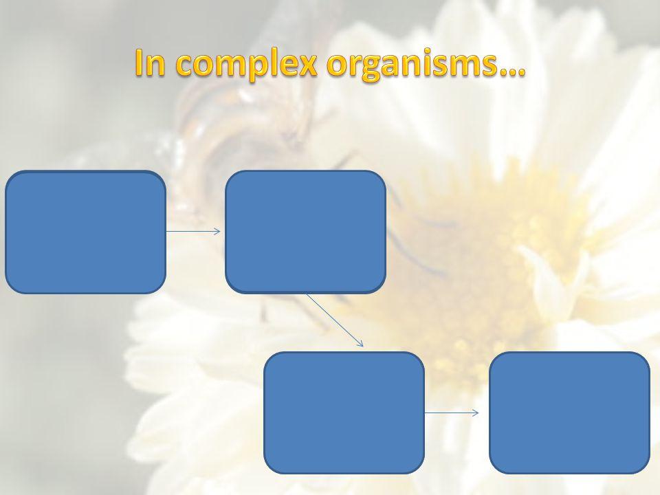 In complex organisms… Cells Tissues Organ systems Organs