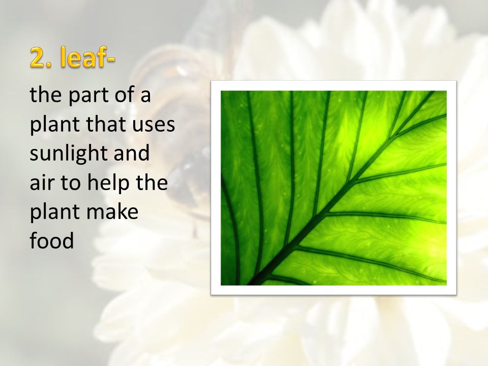 2. leaf- the part of a plant that uses sunlight and air to help the plant make food