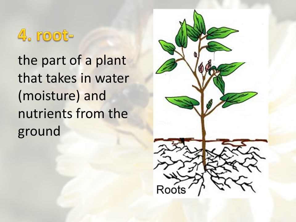 4. root- the part of a plant that takes in water (moisture) and nutrients from the ground