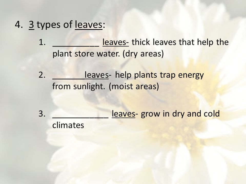 3 types of leaves: __________ leaves- thick leaves that help the plant store water. (dry areas)