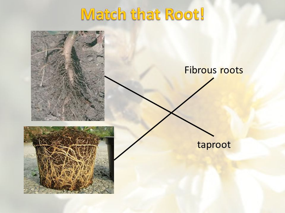 Match that Root! Fibrous roots taproot