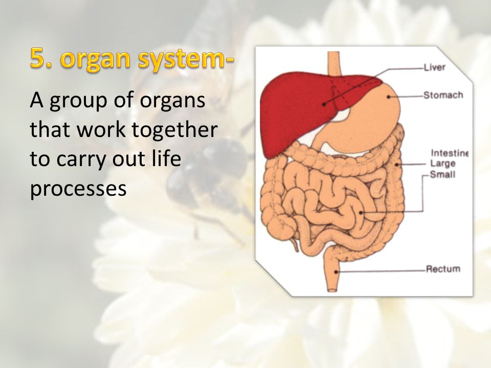 5. organ system- A group of organs that work together to carry out life processes