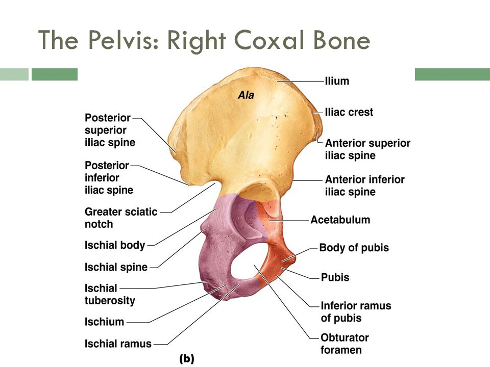 The Pelvis: Right Coxal Bone