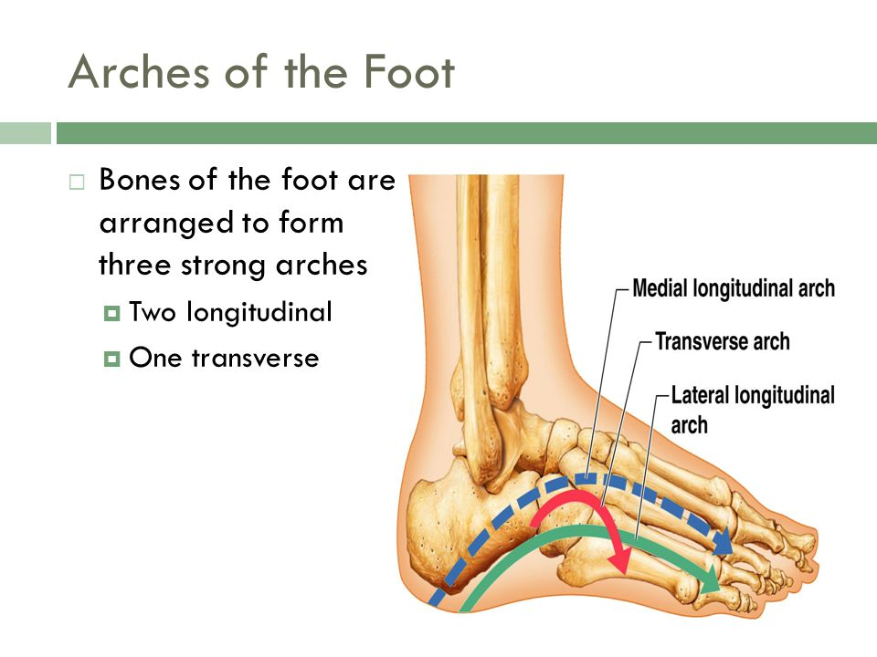 Arches of the Foot Bones of the foot are arranged to form three strong arches. Two longitudinal.