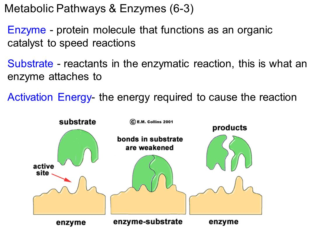 Metabolic Pathways & Enzymes (6-3)