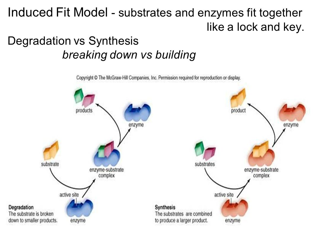 Induced Fit Model - substrates and enzymes fit together