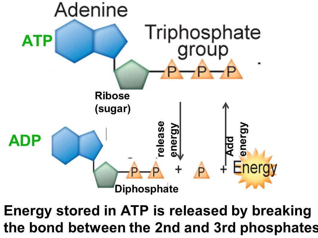 ATP Ribose (sugar) release energy. Add energy. ADP. Diphosphate.