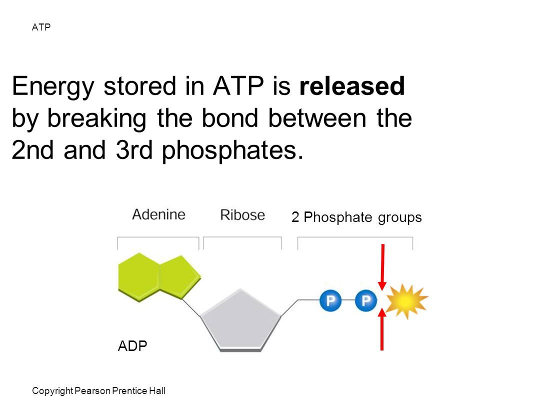ATP Energy stored in ATP is released by breaking the bond between the 2nd and 3rd phosphates. 2 Phosphate groups.