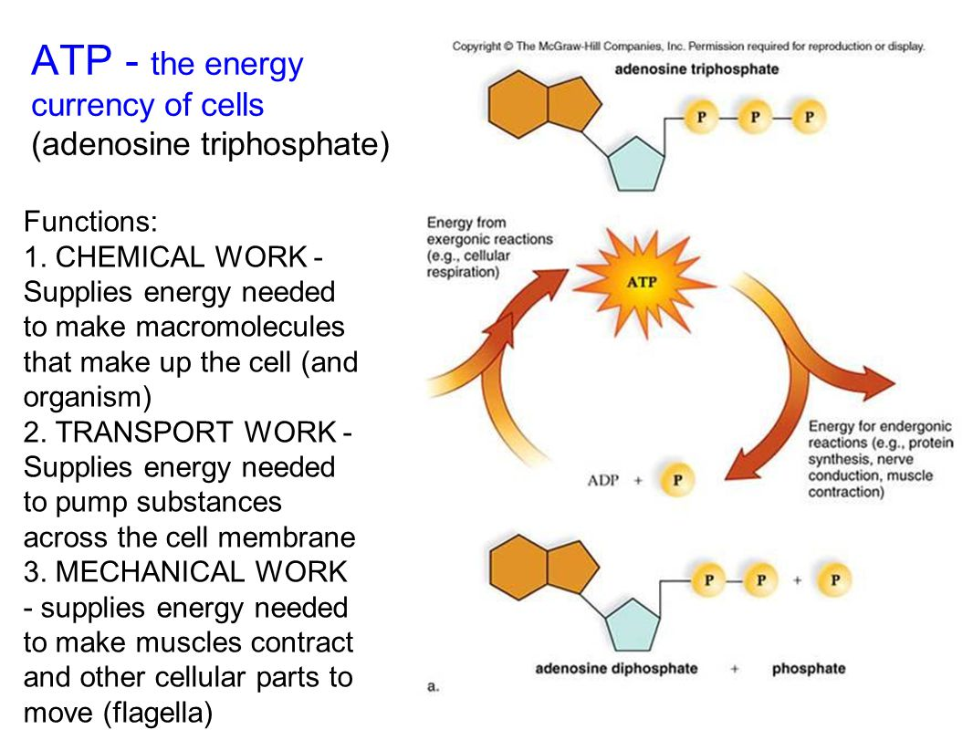 ATP - the energy currency of cells (adenosine triphosphate)