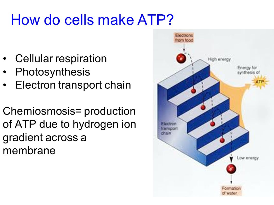 How do cells make ATP Cellular respiration Photosynthesis
