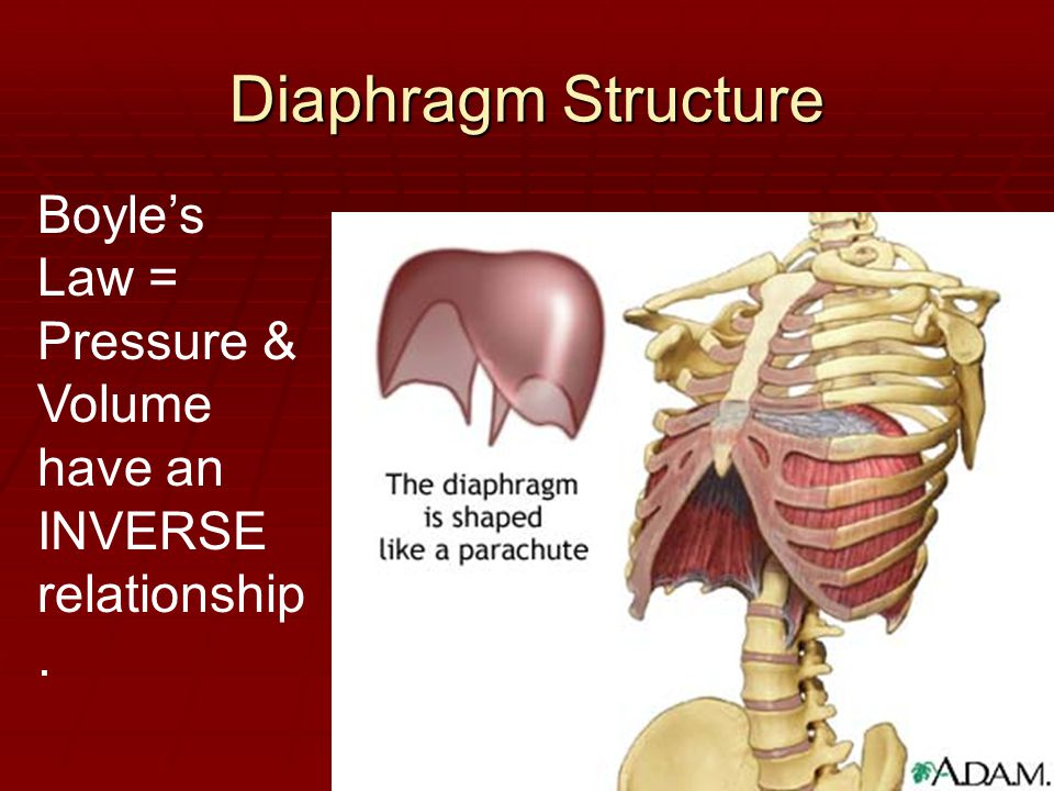 Diaphragm Structure Boyle's Law =