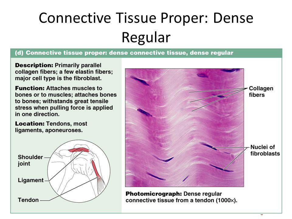 Connective Tissue Proper: Dense Regular