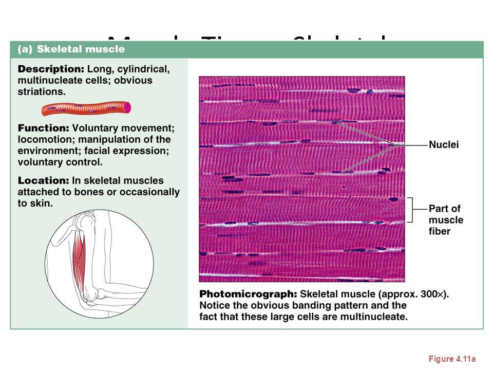Muscle Tissue: Skeletal