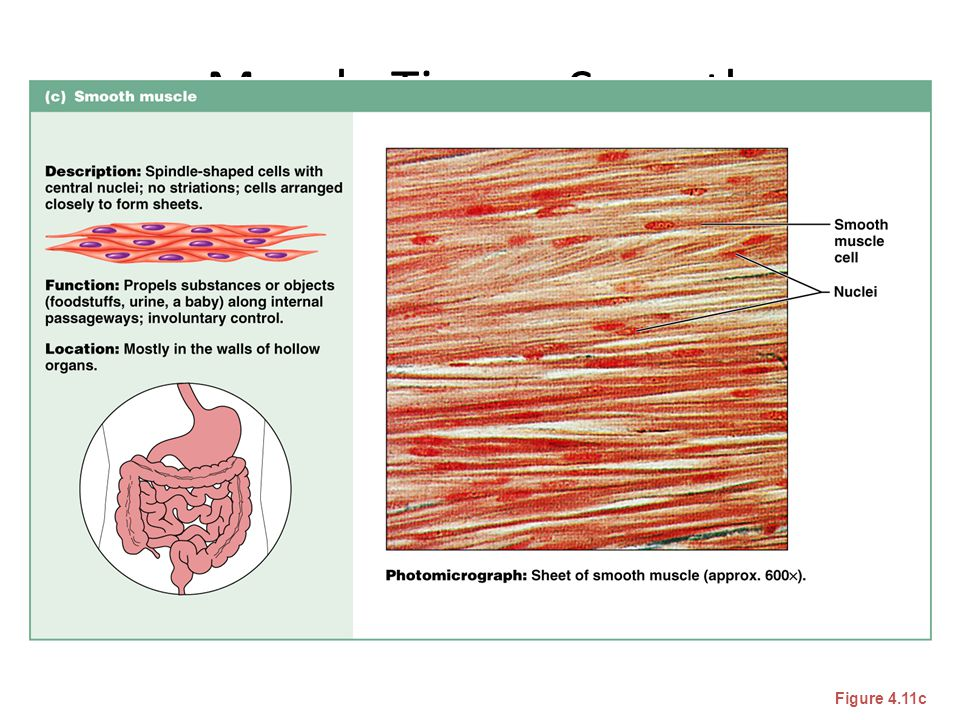 Muscle Tissue: Smooth Figure 4.11c