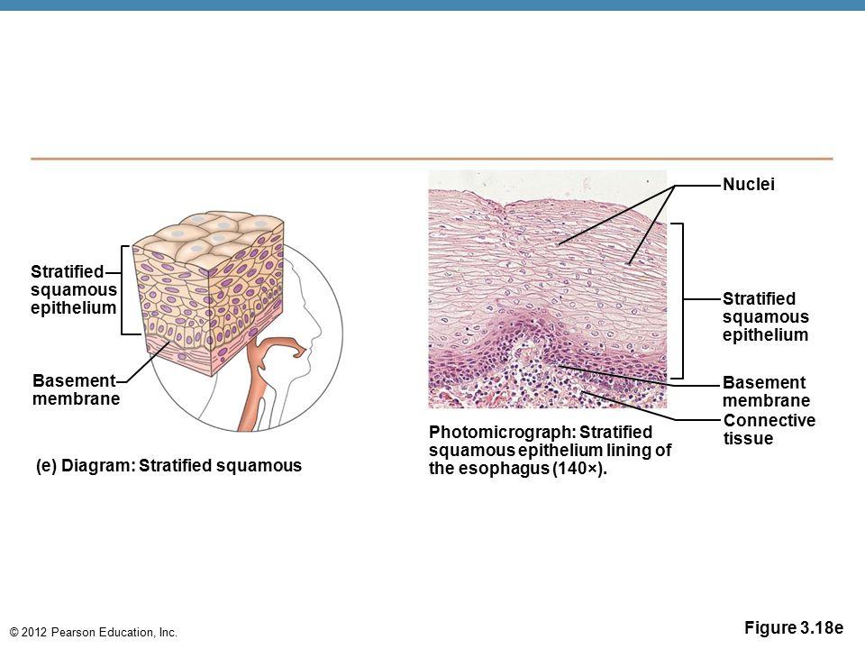 Nuclei Stratified. squamous. epithelium. Stratified. squamous. epithelium. Basement. membrane.