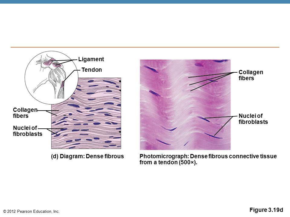 Ligament Tendon. Collagen. fibers. Collagen. fibers. Nuclei of. fibroblasts. Nuclei of. fibroblasts.