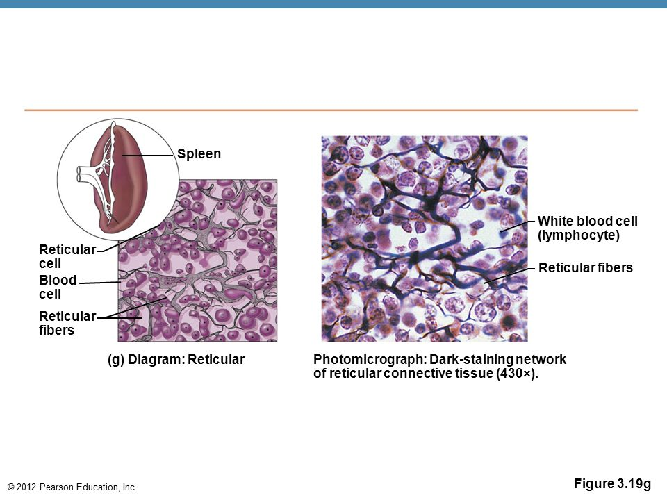 Spleen White blood cell. (lymphocyte) Reticular. cell. Reticular fibers. Blood. cell. Reticular.