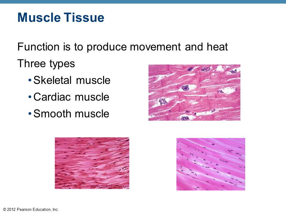 Muscle Tissue Function is to produce movement and heat Three types