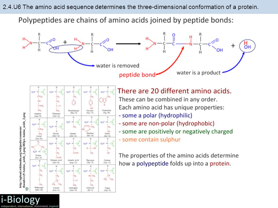 2.4.U6 The amino acid sequence determines the three-dimensional conformation of a protein.