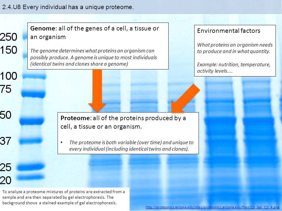 2.4.U8 Every individual has a unique proteome.