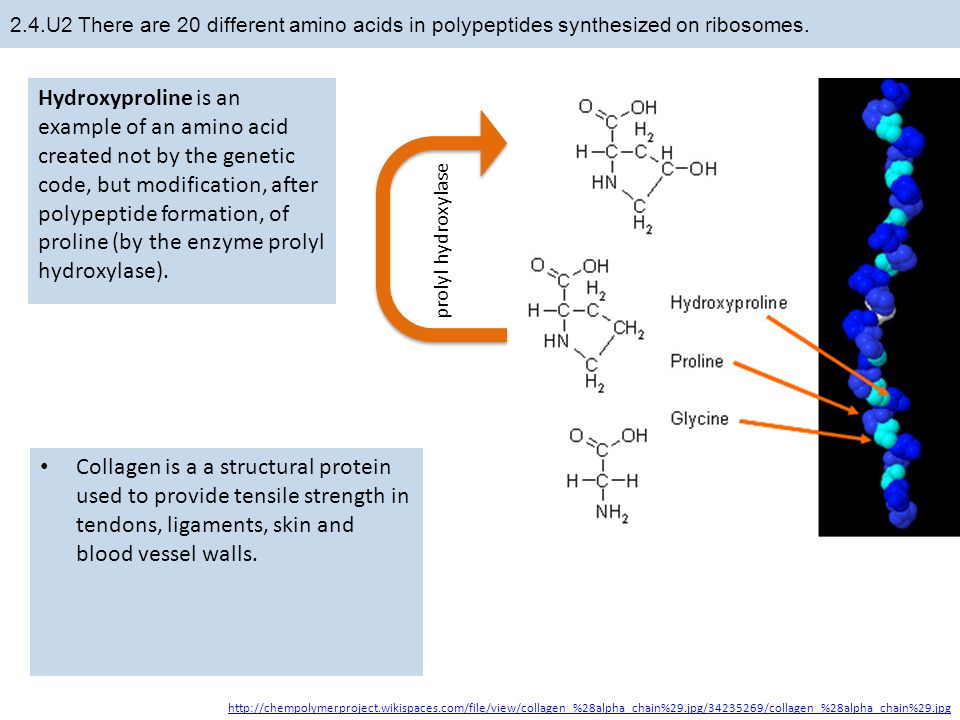 2.4.U2 There are 20 different amino acids in polypeptides synthesized on ribosomes.