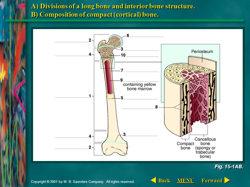A) Divisions of a long bone and interior bone structure