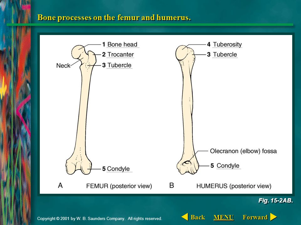 Bone processes on the femur and humerus.